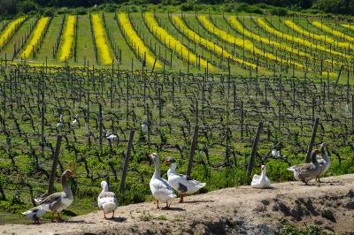 05-vina-las-ninas-vineyard-gooses-DSC1052