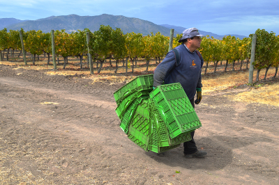 06-vina-las-ninas-harvest-grape-picker-DSC_0684