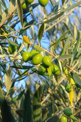 08-vina-las-ninas-olive-tree-DSC_6659