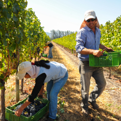 14-vina-las-ninas-harvest-grape-picker-DSC_6836