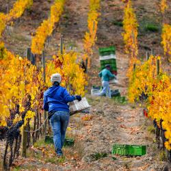 03-vina-las-ninas-harvest-grape-picker-DSC_0672