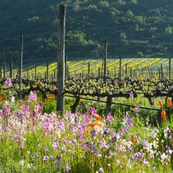 15-vina-las-ninas-terroir-vineyard-flowers-DSC1009